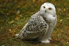Bird show: Snowy Owl (Manfred_H.) Tags: tiere animals birds vögel raubvögel birdsofprey eulen owls snowyowl schneeeule