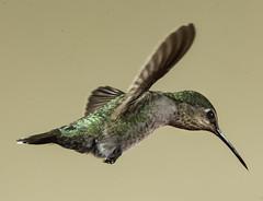 Harried Hurried Hummer Headed Home (Bill Gracey 20 Million Views) Tags: hummingbird hummer hummingbirdphotography offcameraflash yongnuo yongnuorf603n bird birdinflight bif annashummingbird calypteanna poway