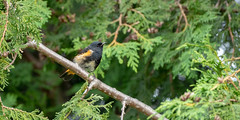 Paruline flamboyante // American Redstart (Alexandre Légaré) Tags: parulineflamboyante americanredstart setophagaruticilla oiseau bird animal wildlife nature nikon d7500