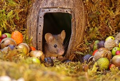 wild house mouse   (11) (Simon Dell Photography) Tags: wild garden house mouse nature animal cute funny fun moss covered log pile acorns nuts berries berrys fuit apple high detail rodent wildlife eye ears door home sheffield ul old english country s12 simon dell photography food tree