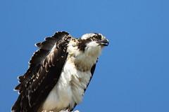 Osprey (jimmy.stewart40) Tags: wildlife osprey raptor birdofprey perched beak westernosprey outdoors eye sky blue black white