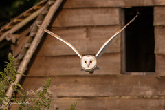 Barn Owl - Off hunting? 501_2907.jpg (Mobile Lynn) Tags: owls barnowl birds nature bird fauna strigiformes tytoalba wildlife nocturnal holdenby england unitedkingdom gb coth5