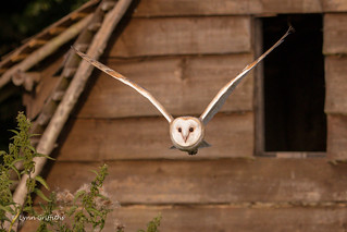 Barn Owl - Off hunting? 501_2907.jpg