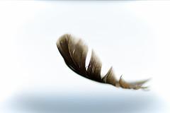 hovering (Uniquva) Tags: hover fflickrfriday flickrfriday feather