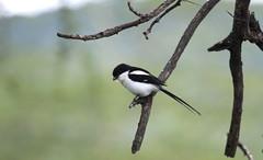 Common Fiscal (jd.willson) Tags: jd willson jdwillson nature wildlife birds birding africa tanzania ngorogoro crater common fiscal shrike