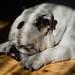 White English Bulldog taking a nap