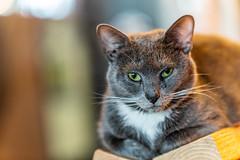 Javacatscafe08Sep20180479.jpg (fredstrobel) Tags: javacafecats javacatscafe atlanta places animals ga pets cats usa georgia unitedstates us