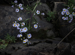 Aster (koperajoe) Tags: rock asters macro flowers botanical
