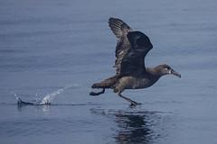 Black-footed Albatross (iansgledhill) Tags: albatross humboldt california run running