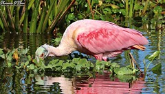 Hide and seek fail (Shannon Rose O'Shea) Tags: shannonroseoshea shannonosheawildlifephotography shannonoshea shannon roseatespoonbill spoonbill bird redeyes pink pinklegs feathers wings water reflections colorful colourful orlandowetlandspark christmas florida flickr wwwflickrcomphotosshannonroseoshea nature wildlife waterfowl wading wadingbird plataleaajaja waterlettuce wetlands art photo photography photograph wild wildlifephotography wildlifephotographer wildlifephotograph fauna bluewater femalephotographer girlphotographer womanphotographer shootlikeagirl shootwithacamera throughherlens camera canon canoneos80d canon80d eos80d 80d canon100400mm14556lisiiusm outdoors outdoor leaves close closeup