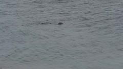 Seals and kayaks (Christa (ch-cnb)) Tags: wales llyn lleyn peninsula uk olympus sea morfanefyn porthdinllaen video movie seal grey seals christa omd em5mkii mzd40150mm