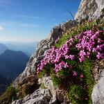 Alpenblumen thumbnail