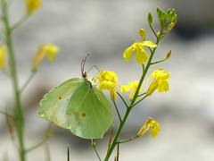 Brimstone butterfly, Croatia (MarySloA) Tags: europe croatie croatia hrvaska rovinj adriatique adriatic mer sea landscape nature papillon butterfly citron brimstone animal animaux