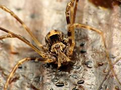 Harvestman (treegrow) Tags: newzealand paparoanationalpark nature lifeonearth raynoxdcr250 arthropoda arachnida opiliones