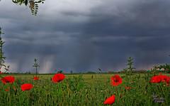 Coquelicots (schneider.jm) Tags: canon 6d camargue fleur orage paysage flower sky yellow storm landscape printemps france provence lumiere spring light ciel pelouse coquelicot poppy