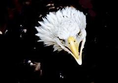 Calling To Her Mate (Chamblin1) Tags: eagle wildlife bird birdofprey colorado latesummer
