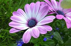 Pink Daisies (abrideu) Tags: abrideu panasonicdmctz20 daisy macro flowers flower depthoffield bright pink bokeh garden outdoor ngc