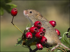 Harvest Mouse (Craig 2112) Tags: harvest mouse micromys minutus rodent mammal macro rosehip