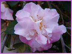 camellia (2) (margaretpaul) Tags: garden flowers blooms homegarden camellia