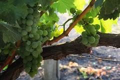 In harvest teach, in winter enjoy (SolanoSnapper) Tags: syb 6ws napacounty vineyard winecountry