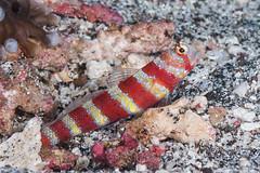Gorgeous Shrimpgoby - Amblyeleotris wheeleri (zsispeo) Tags: amblyeleotris gobiidae wheeleri indonesia