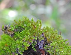 Bryophyta... (valeriavieira) Tags: musgo moss natureza nature flora florabrasileira botanica santamaria brasil brazil nikon vvaleriavieira macro closeup