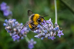 bee 6 (1 of 1) (steamnut777) Tags: lavender bumblebee canon garden