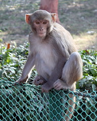 sad monkey from agra (kexi) Tags: agra india asia uttarpradesh animal monkey sad vertical canon february 2017 fence green furry
