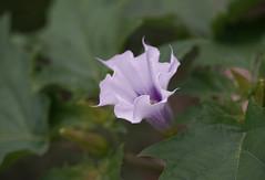 DSC09329 (Old Lenses New Camera) Tags: sony a7r tokina bokina macro 90mm f25 plants garden flowers datura
