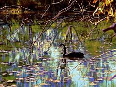The Billabong and the Black Swan. (maginoz1) Tags: billabong blackswan lilypads pelican tahbilk winery victoria australia winter august 2018 impressionistic art manipulation canon g16