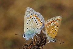 Common Blue Butterflies mating -Polyommatus icarus- Durlston CP Dorset (10) (ailognom2005) Tags: commonbluebutterfliesmating polyommatusicarus durlstoncp dorset durlstoncountrypark countrypark butterflies wildlife butterfliesmothsandcaterpillars uk macro insects britishinsects