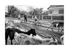 Boys with the goats (Jan Dobrovsky) Tags: odessaregion leicaq cement street people reallife mood monochome evening bycicle countryside kids goats road ukraine blackandwhite dark figure dog countrylefe animals drama village countrylife document littledoglaughednoiret