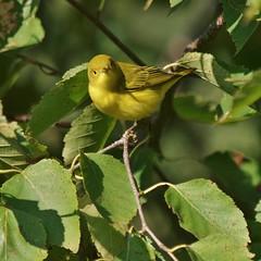 Yellow Warbler, Mackworth Island (Bill Bunn) Tags: yellowwarbler falmouth maine