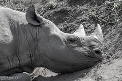 Sleeping Rhino (lee adcock) Tags: nikond500 rhino tamron150600g2 yorkshirewildlifepark