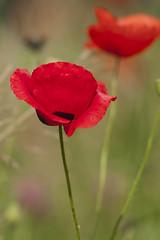 coquelicot_4 (gilbardin) Tags: fleur coquelicot