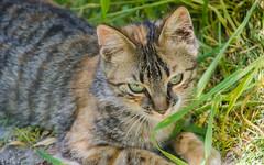 Moumoune #3 (Zéphyrios) Tags: aube champagne grandest nikon d7000 chat cat yeux eyes rayure herbes grass regard de goutière