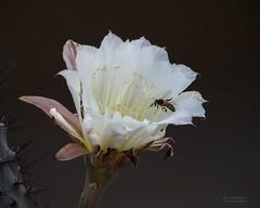 IMG_1314-Night Blooming Cereus (Desert Rose Images) Tags: night blooming cereus arizona sonoran desert wild flora bee white cactus