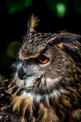 Eurasian Eagle Owl Portrait (Worldthroughmyiris) Tags: owl eurasianeagleowl bird birdwatcher bbcspringwatch birdphotography birdsofprey birds beautifulplanet eyes owls raptor nature naturebrilliance wildlife wildlifephotography naturephotography