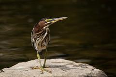 Green Heron - immature (NicoleW0000) Tags: greenheron heron bird wildlife birdwatching rock water colourful ontario