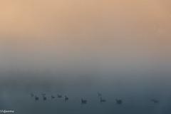 02092018-DSC_0084 (vidjanma) Tags: oies étang brume pastels