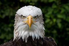 Eagle stare (PINNACLE PHOTO) Tags: eagle baldeagle alaska bird birdofprey large feathered martinbillard canoan7dii 70200mmf28ii