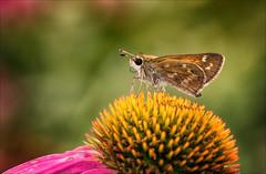Last Dance (Kathy Macpherson Baca) Tags: insect butterflies butterfly world autumn flower skipper macro coneflower nectar fly earth invertebrate planet season
