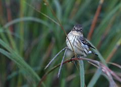 Young Warbler_51 (Scott_Knight) Tags: scott minnesota canon knight warbler 70200 wildlife nature
