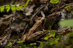 Camouflage artist (Ernst_P.) Tags: aut inzing mühltal österreich tirol tier amphibium frosch lurch wald sigma macro 105mm f28 bosque rana frog forest tyrol austria autriche natur nature