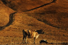 A Study in Chocolate and Caramel (SolanoSnapper) Tags: 100xthe2018edition 100x2018 image83100 solanocounty northerncalifornia cow wah