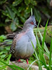 The Crested Pigeon (Steve Taylor (Photography)) Tags: crestedpigeon kea bird pigeon grey green pink red newzealand nz southisland canterbury christchurch grass bush rock eye