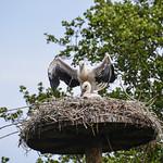 Young storks thumbnail