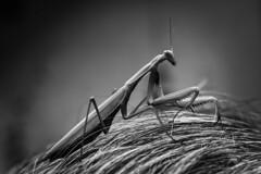 praying mantis (Cosentino Aran) Tags: prayingmantis blackandwhite insect nature italy forest leaf green monocromatico wild free plant pray mantis mantidereligiosa carpediem