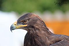 Steppe eagle (vickyouten) Tags: steppeeagle eagle birdsofprey nature wildlife canon canon1300d risley wildwings vickyouten