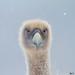 Griffon vulture (Gyps fulvus) portrait